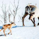 #RomaFF14 – Ailo – Un'avventura tra i ghiacci, di Guillaume Maidatchevsky